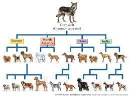 Canine Evolution Chart Monkeys And Dogs Dog Chart