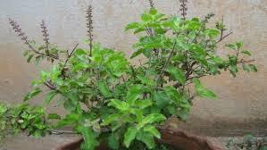 Image result for तुलसी के पौधे रखने से