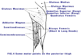 Motor Points For Electrical Stimulation Chart Dry Needling Of Muscle Motor Points For Low Back Pain