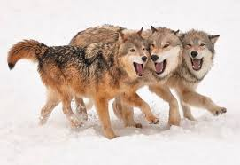 gray wolf pack playing. Perfect Playing Inside Gray Wolf Pack Playing