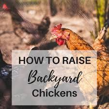 To Raise Backyard ChickensBackyard Chicken Blog