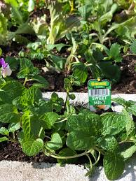 mint can be aggressive in the garden planting it in the openings of the concrete blocks helps keep it in check
