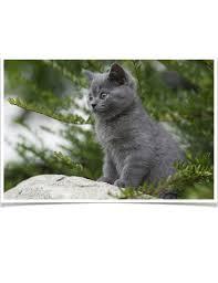 British Shorthair Weight Chart Kg British Shorthair Kitten