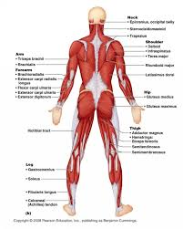 Muscles , 6 Muscular System Pictures Labeled : Anatomy Posterior ...