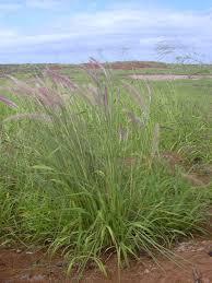 Pennisetum setaceum - Wikipedia