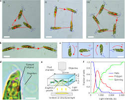What Detects Light In The Euglena Polygonal Motion And Adaptable Phototaxis Via Flagellar Beat