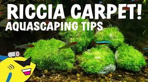 carpet moss. aquascaping tips - riccia carpet moss attachment carpet moss