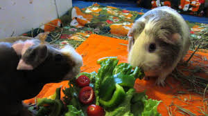 Guinea Lynx Vegetable Chart Two Guinea Pigs One Pile Of Veggies