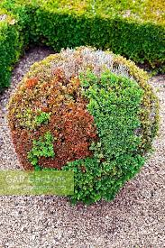 Small Picture GAP Gardens Blight on clipped box ball in the Pigeon Garden at