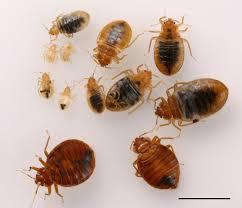 and nymph bed bugs d h choe