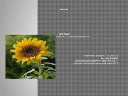 Реферат Подсолнух Начальные классы класс Реферат реферат Влияние солнца на рост и развитие подсолнечника Выполнил ученик 3