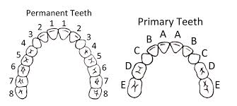 Orthodontic Tooth Chart 11 Teeth Chart Templates Sample Templates Tooth Chart