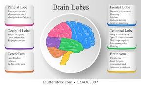 Brain Anatomy Function Stock Vectors Images Vector Art