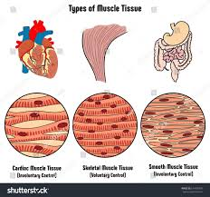 Types Of Muscle Tissue Of Human Body Diagram Including