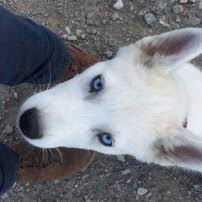 Growth Chart Siberian Husky General Husky Owners The