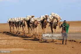 Small Picture Caravan Of Camels Carrying Salt Blocks To Mekele Stock Photo