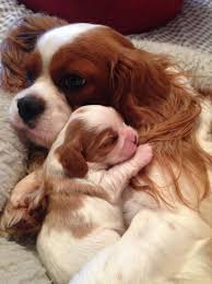 cutecavaliermomandpuppy we have both male and female cavalier puppies available