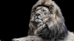 lion wallpaper. animal - lion predator (animal) close-up big cat black \u0026 white wallpaper