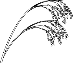 rice plant drawing. Modren Plant Rice Plant Drawing  Google Search Plant Painting Drawing Rice Plant  With Drawing C