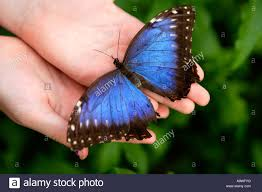 big pictures of butterflies. Delighful Butterflies Girl Holding Big Blue Butterfly Symonds Yat Wye Valley England  Stock Intended Big Pictures Of Butterflies L