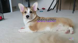 corgi puppy s 7 ses of hair loss hilarious must watch