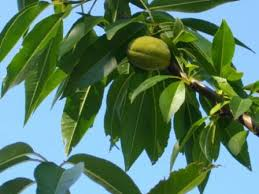 Central Asia Fruit TreesFruit And Nut Trees