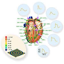 Сердце человека Википедия Схема пространственно временной организации нормальной работы сердца человека Зеленые надписи и стрелки указывают время прихода волны возбуждения в данную