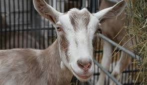 Dairy Goat Breeds How To Choose Among Breeds Of Dairy Goats Hobby Farms