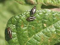 Corn Flea Beetle Flea Beetles 5 592 Extension