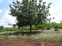 the medicinal properties of neem natural health mother earth news neem healing benefits