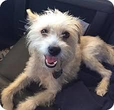 west highland white terrier maltese mix. Wonderful Maltese Los Angeles CA  Westie West Highland White Terrier Meet Adorable  EmmaURGENT A Dog For Adoption On Terrier Maltese Mix T