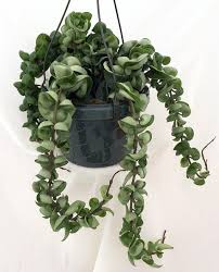 The Hindu Rope Plant is an exotic house plant native to the far east. It
