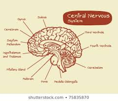 Cns And Pns Chart Central Nervous System Photos 6 158 Central Nervous Stock