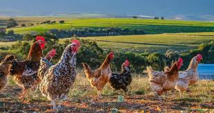Chicken Ranching or Chicken Farming: What's the Big Difference in 2020?
