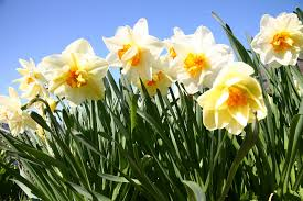 daffodils poisoning in dogs