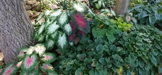 hosta panion plants growing hostas