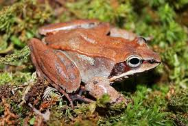 Cryobiology Frozen Wood Frogs And Adaptations For Survival