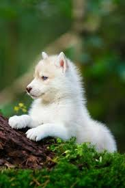 wolf cub baby s are cute