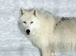white wolf wallpaper. Interesting Wolf White Wolves Wallpaper  WallpaperSafari Wolf Desktop Wallpaper  Pictures Wolf Photos With