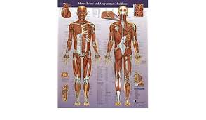 Motor Points And Meridians Wall Chart Matt Callison Amazon