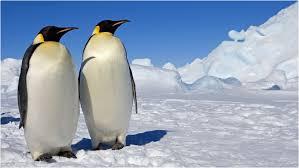emperor penguin habitat. Contemporary Habitat Emperor Penguin  To Habitat R