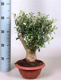olive bonsai gift bowl or pot design thick stem olive tree in pot