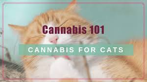 Cannabis 101 Cbd For Your Cat