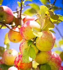 Apples Patterson Fruit Farm