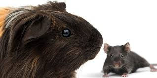 do guinea pigs attract mice why you