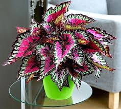 non toxic indoor plants poisonous houseplants for dogs plants toxic to dogs balcony garden web house