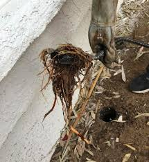 tree roots taken from plumbing pipes with an auger