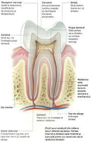 Organele interne ale cainelui imagini