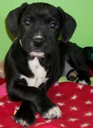 black american bulldog lab mix. Exellent Black In Black American Bulldog Lab Mix H