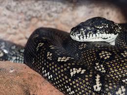 Black Snake With Diamond Pattern Unique Design